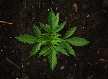 """Commercializzazione della """"cannabis light"""" e consumo ricreativo"""
